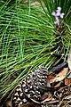 Pinus engelmannii seedling-oldcone.jpg