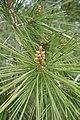 Pinus halepensis kz21 (Morocco).jpg