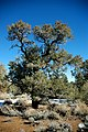 Pinus monophylla tree2.jpg