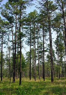 Pinus palustris UGA1.jpg