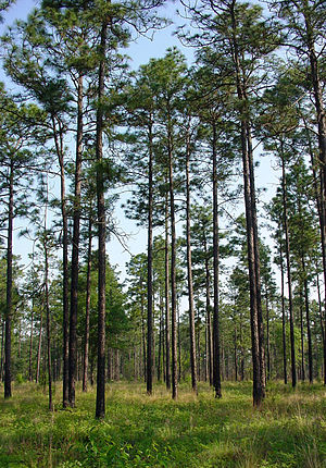 Pinus palustris - Longleaf pine (Pinus palustris) forest