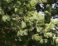 Pinus peuce (Macedonian Pine) - foliage - Flickr - S. Rae.jpg