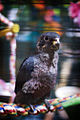 Pionus fuscus -perching on a rope-8a.jpg