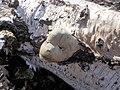 Piptoporus betulinus su tronco di betulla bianca (Betula pendula), Caldara di Manziana, Lazio, Italia.jpg