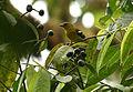 Piranga leucoptera (female) -NW Ecuador-6.jpg