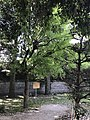 Pistacia chinensis in Shoin Shrine.jpg