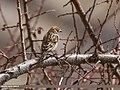 Plain Mountain Finch (Leucosticte nemoricola) (33161668654).jpg