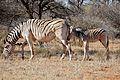 Plains Zebras (Equus quagga burchellii) mare and foal ... (32977288601).jpg