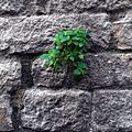Plant growing on the wall of Santa Maria del Pi, Barcelona, Spain.JPG