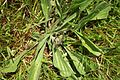 Plantain(0)a.jpg