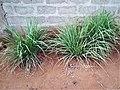 Plante citronnelle au Bénin.jpg