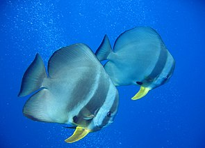 Langflossen-Fledermausfische (Platax teira)