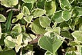 Plectranthus amboinicus Variegated 0zz.jpg