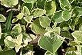 Plectranthus amboinicus Variegated 0zz.jpg