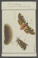 Pleretes - Print - Iconographia Zoologica - Special Collections University of Amsterdam - UBAINV0274 055 04 0065.tif