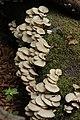 Pleurotus sp. (30009985347).jpg