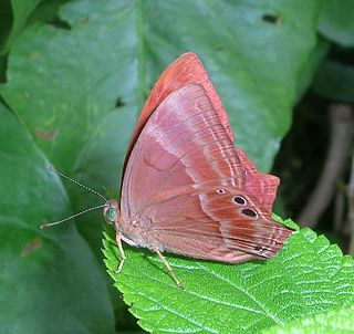 <i>Abisara echerius</i> Species of butterfly