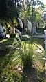 Poales - Cortaderia selloana - 1.jpg