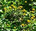 Podanthus ovatifolius 2.jpg