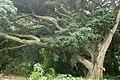 Podocarpus totara kz7.jpg