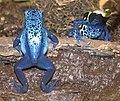 Poison Dart Frogs 001.jpg