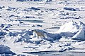Polar Bears near the North Pole (19618648512).jpg