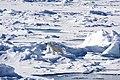 Polar Bears near the North Pole (19618648512).jpg
