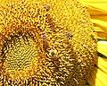 Pollen covered Honeybee on Sunflower.jpg