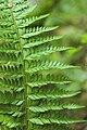 Polystichum aculeatum vallon-ferme-le-colombier-chateau-thierry 02 13072008 02.jpg