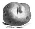 Pomme de terre Shaw Vilmorin-Andrieux 1883.png
