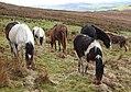 Ponies (33782591015).jpg
