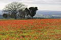 Poppy field at Fontmell Down 2 20091016.jpg