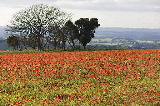 Poppy field at Fontmell Down 2 20091016