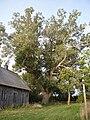 Populus nigra 08Sep2009.jpg