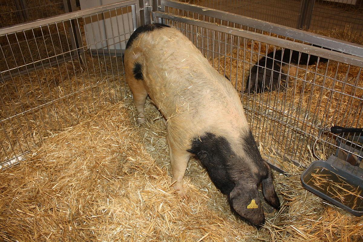 Celtic pig - Wikipedia