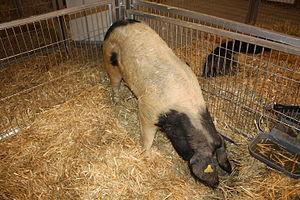 Celtic pig - Celtic pig in Silleda (2010).
