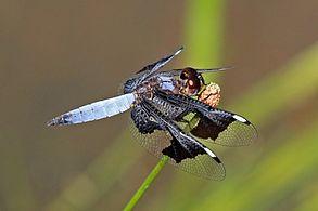 Portia widow (Palpopleura portia) male.jpg
