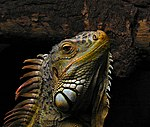 Portrait of an Iguana.jpg