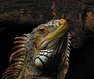 <i>Iguana</i> Reptile genus of herbivorous lizards
