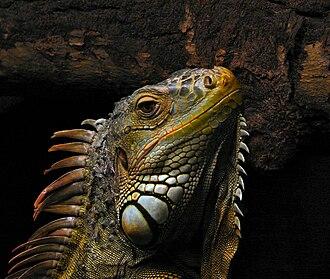 Iguana - Green iguana (Iguana iguana)