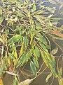 Potamogeton nodosus sl40.jpg