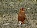 Proboscis Monkey (Nasalis larvatus) male (6707342077).jpg