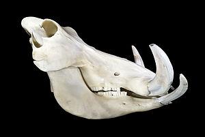 Phacochoerus - Skull