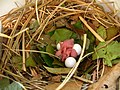 Progne subis -Tulsa, Oklahoma, USA -eggs and chicks in nestbox-8.jpg