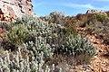 Protea pendula tonyrebelo inat10874494d.jpg