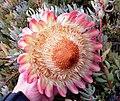 Protea sulphurea linkie iNat11243659.jpg