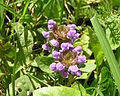 Prunella vulgaris harilik käbihein murus estonia.JPG