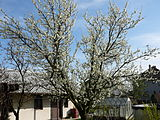 Prunus in bloom.JPG