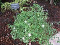 Pseuderanthemum tuberculatum - Berlin Botanical Garden - IMG 8696.JPG