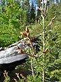 Pseudotsuga menziesii pointed buds on small tree.jpg